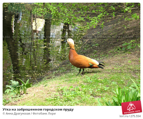 Купить «Утка на заброшенном городском пруду», фото № 275554, снято 1 мая 2008 г. (c) Анна Драгунская / Фотобанк Лори
