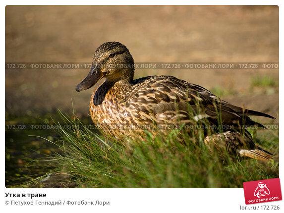 Купить «Утка в траве», фото № 172726, снято 15 июля 2007 г. (c) Петухов Геннадий / Фотобанк Лори
