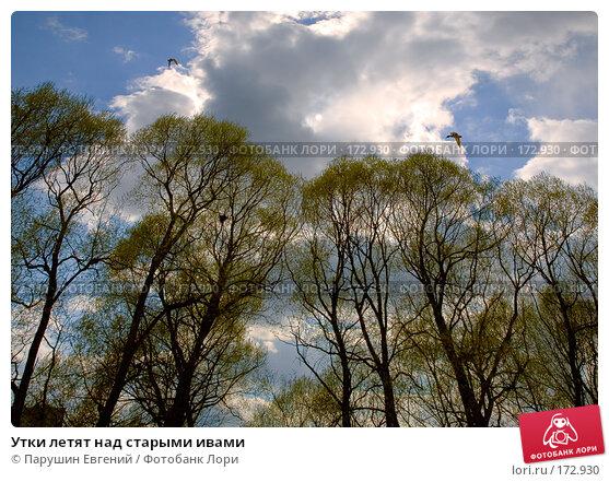 Купить «Утки летят над старыми ивами», фото № 172930, снято 24 марта 2018 г. (c) Парушин Евгений / Фотобанк Лори