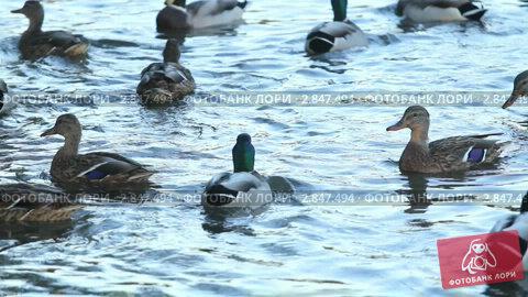 Купить «Утки, плавающие в пруду», видеоролик № 2847494, снято 6 октября 2011 г. (c) Сергей Лаврентьев / Фотобанк Лори