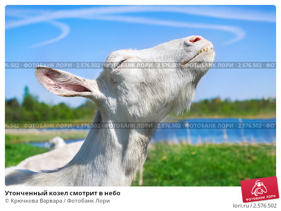 Купить «Утонченный козел смотрит в небо», фото № 2576502, снято 11 мая 2011 г. (c) Крючкова Варвара / Фотобанк Лори