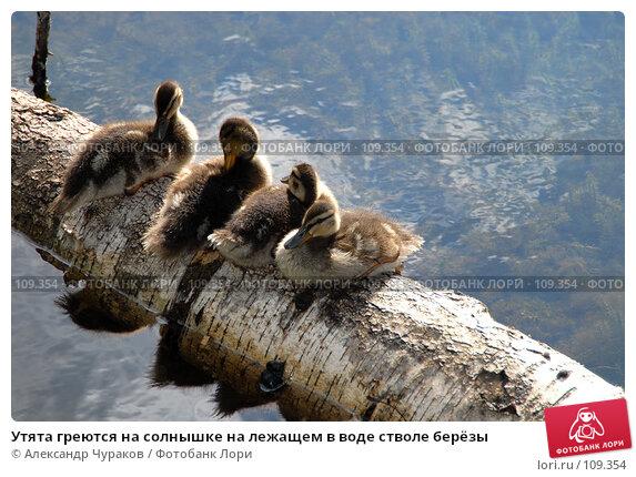 Утята греются на солнышке на лежащем в воде стволе берёзы, фото № 109354, снято 2 июля 2006 г. (c) Александр Чураков / Фотобанк Лори
