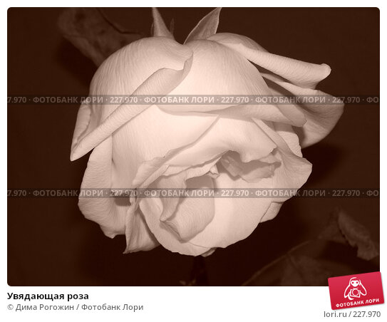Купить «Увядающая роза», фото № 227970, снято 25 апреля 2006 г. (c) Дима Рогожин / Фотобанк Лори