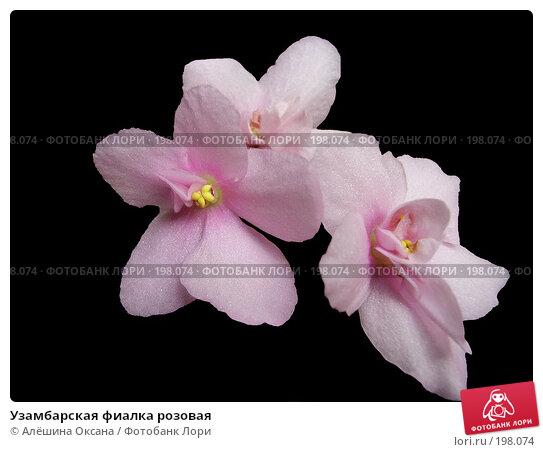 Узамбарская фиалка розовая, эксклюзивное фото № 198074, снято 28 мая 2006 г. (c) Алёшина Оксана / Фотобанк Лори