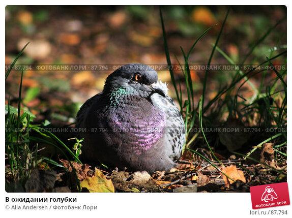 В ожидании голубки, фото № 87794, снято 24 сентября 2007 г. (c) Alla Andersen / Фотобанк Лори
