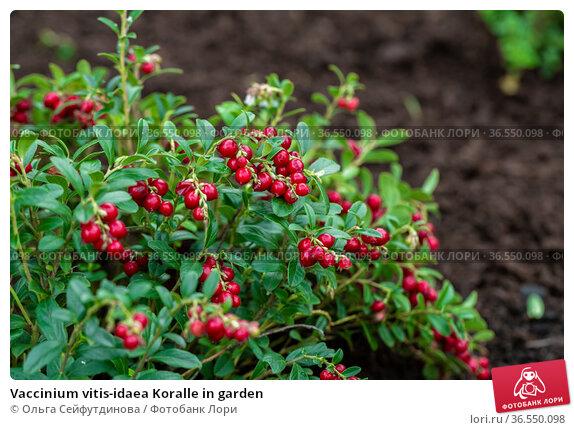 Vaccinium vitis-idaea Koralle in garden. Стоковое фото, фотограф Ольга Сейфутдинова / Фотобанк Лори