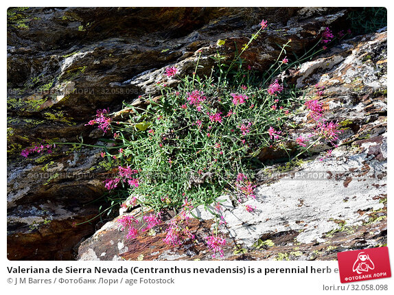 Valeriana de Sierra Nevada (Centranthus nevadensis) is a perennial herb endemic to southern Spain and north western Africa mountains. This photo was taken... Стоковое фото, фотограф J M Barres / age Fotostock / Фотобанк Лори