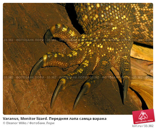 Varanus, Monitor lizard. Передняя лапа самца варана, фото № 33382, снято 22 июня 2006 г. (c) Eleanor Wilks / Фотобанк Лори