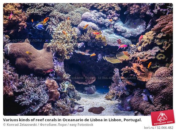Variuos kinds of reef corals in Oceanario de Lisboa in Lisbon, Portugal. Стоковое фото, фотограф Konrad Zelazowski / easy Fotostock / Фотобанк Лори