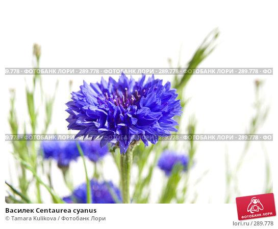 Василек Centaurea cyanus, фото № 289778, снято 18 мая 2008 г. (c) Tamara Kulikova / Фотобанк Лори