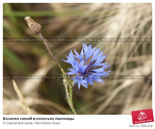 Василек синий в колосьях пшеницы. Стоковое фото, фотограф Сергей Бехтерев / Фотобанк Лори
