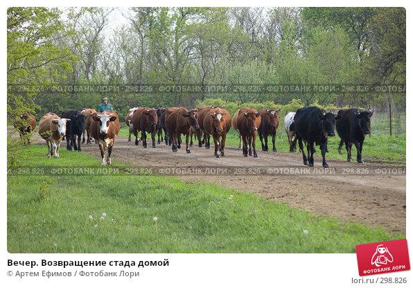 Вечер. Возвращение стада домой, фото № 298826, снято 2 мая 2008 г. (c) Артем Ефимов / Фотобанк Лори