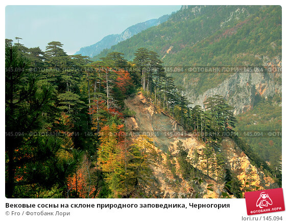 Вековые сосны на склоне природного заповедника, Черногория, фото № 145094, снято 23 июля 2017 г. (c) Fro / Фотобанк Лори