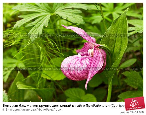 Купить «Венерин башмачок крупноцветковый в тайге Прибайкалья (Cypripedium macranthon)», фото № 3614698, снято 23 июня 2012 г. (c) Виктория Катьянова / Фотобанк Лори