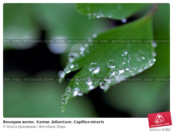 Венерин волос. Капли. Adiantum. Capillus-vineris, фото № 4902, снято 8 июня 2006 г. (c) Ольга Красавина / Фотобанк Лори