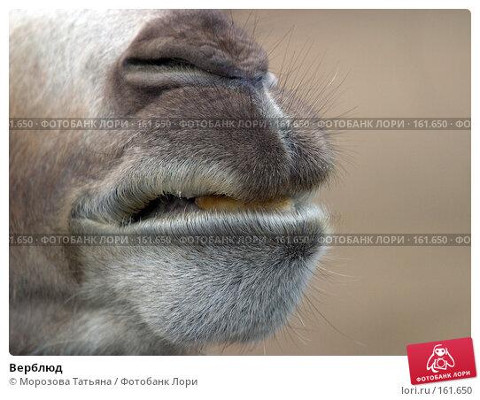 Верблюд, фото № 161650, снято 14 июня 2004 г. (c) Морозова Татьяна / Фотобанк Лори