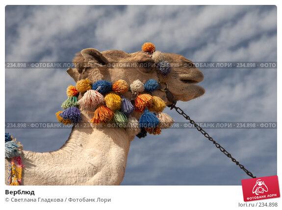 Верблюд, фото № 234898, снято 27 июля 2017 г. (c) Cветлана Гладкова / Фотобанк Лори