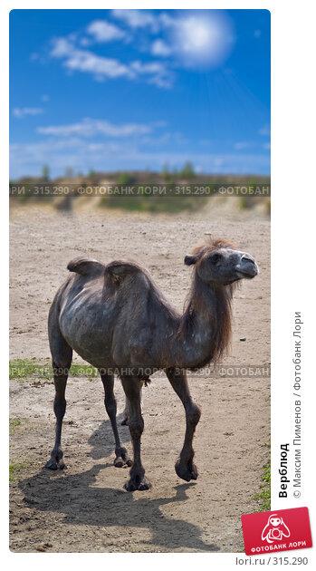 Купить «Верблюд», фото № 315290, снято 10 мая 2008 г. (c) Максим Пименов / Фотобанк Лори