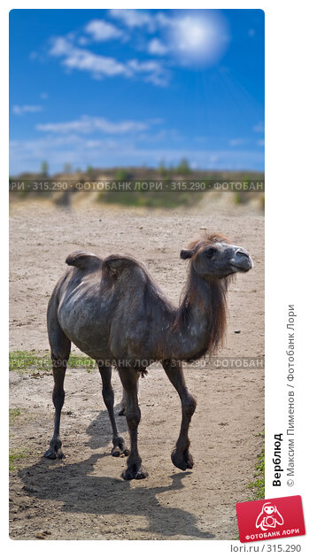 Верблюд, фото № 315290, снято 10 мая 2008 г. (c) Максим Пименов / Фотобанк Лори