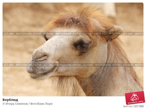 Верблюд, фото № 327086, снято 13 июня 2008 г. (c) Игорь Семенов / Фотобанк Лори
