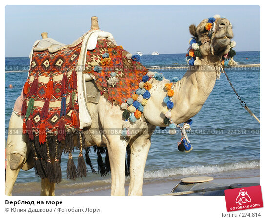 Верблюд на море, фото № 274814, снято 1 января 2003 г. (c) Юлия Дашкова / Фотобанк Лори