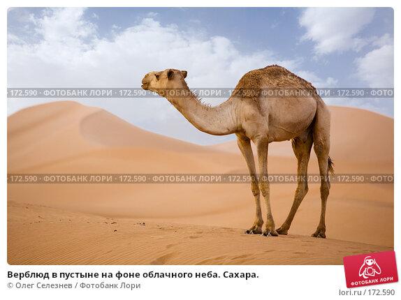 Купить «Верблюд в пустыне на фоне облачного неба. Сахара.», фото № 172590, снято 19 августа 2007 г. (c) Олег Селезнев / Фотобанк Лори