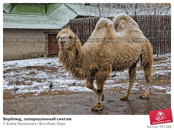 Верблюд, запорошенный снегом, фото № 191254, снято 2 июня 2005 г. (c) Елена Прокопова / Фотобанк Лори