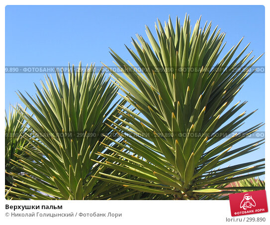 Верхушки пальм, фото № 299890, снято 7 марта 2007 г. (c) Николай Голицынский / Фотобанк Лори