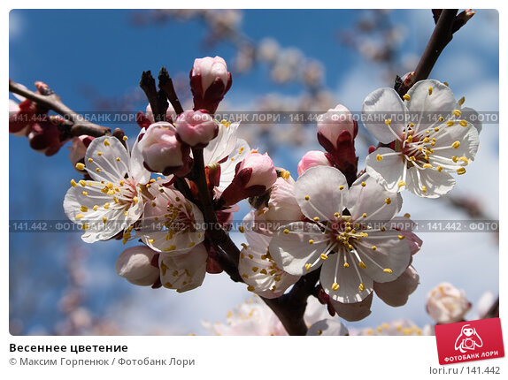 Весеннее цветение, фото № 141442, снято 30 марта 2017 г. (c) Максим Горпенюк / Фотобанк Лори