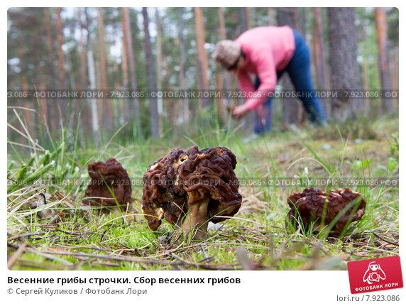 Весенние грибы строчки. Сбор весенних грибов. Стоковое фото, фотограф Сергей Куликов / Фотобанк Лори