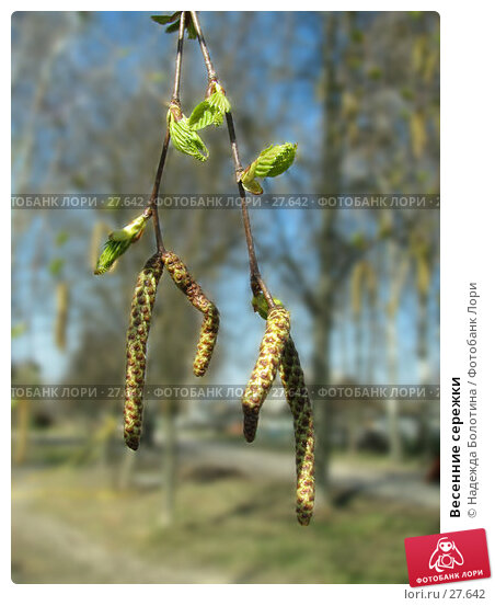 Купить «Весенние сережки», фото № 27642, снято 26 апреля 2006 г. (c) Надежда Болотина / Фотобанк Лори
