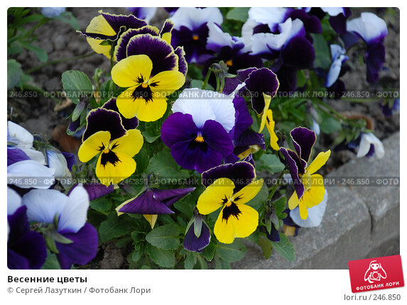 Купить «Весенние цветы», фото № 246850, снято 9 апреля 2008 г. (c) Сергей Лазуткин / Фотобанк Лори