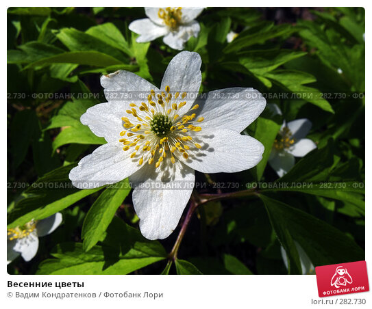 Весенние цветы, фото № 282730, снято 26 мая 2017 г. (c) Вадим Кондратенков / Фотобанк Лори