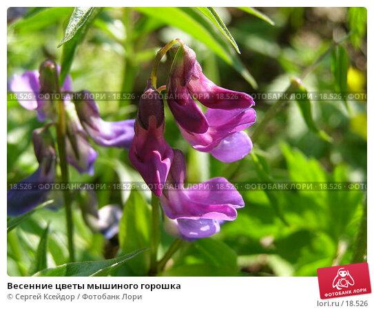 Весенние цветы мышиного горошка, фото № 18526, снято 15 мая 2006 г. (c) Сергей Ксейдор / Фотобанк Лори