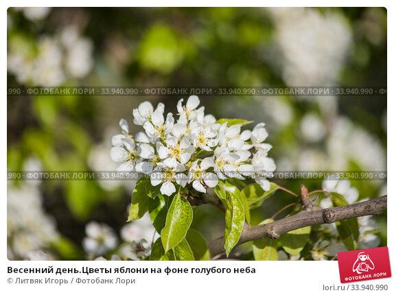 Купить «Весенний день.Цветы яблони на фоне голубого неба», фото № 33940990, снято 25 мая 2020 г. (c) Литвяк Игорь / Фотобанк Лори