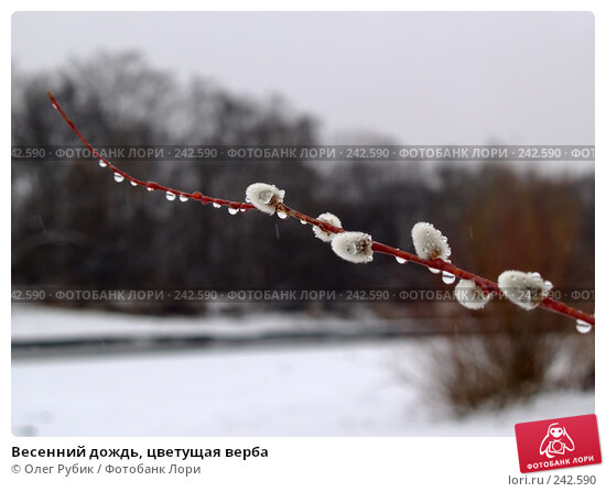 Весенний дождь, цветущая верба, фото № 242590, снято 23 марта 2017 г. (c) Олег Рубик / Фотобанк Лори
