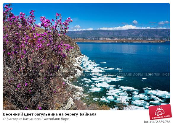 Купить «Весенний цвет багульника на берегу  Байкала», фото № 2559786, снято 23 мая 2011 г. (c) Виктория Катьянова / Фотобанк Лори