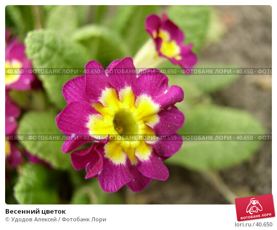 Весенний цветок, фото № 40650, снято 18 апреля 2007 г. (c) Удодов Алексей / Фотобанк Лори