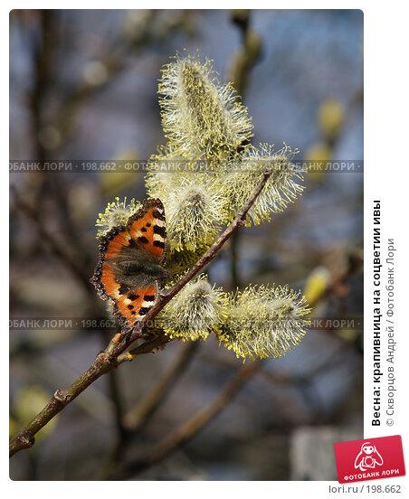 Купить «Весна: крапивница на соцветии ивы», фото № 198662, снято 29 апреля 2006 г. (c) Скворцов Андрей / Фотобанк Лори
