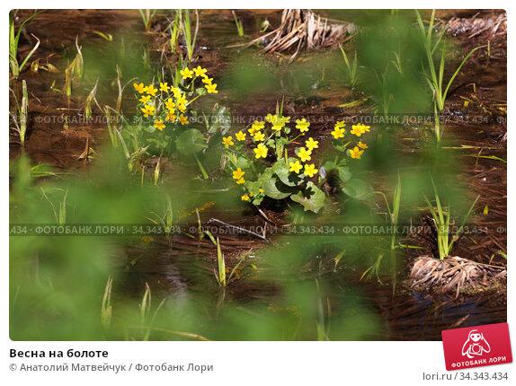 Весна на болоте. Стоковое фото, фотограф Анатолий Матвейчук / Фотобанк Лори