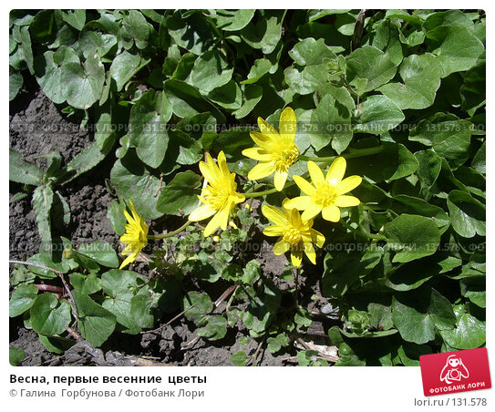 Весна, первые весенние  цветы, фото № 131578, снято 7 апреля 2006 г. (c) Галина  Горбунова / Фотобанк Лори