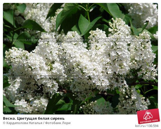 Весна. Цветущая белая сирень, фото № 130594, снято 31 мая 2007 г. (c) Кардаполова Наталья / Фотобанк Лори