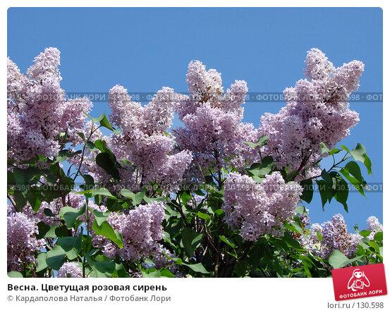 Купить «Весна. Цветущая розовая сирень», фото № 130598, снято 31 мая 2007 г. (c) Кардаполова Наталья / Фотобанк Лори