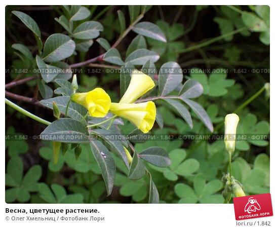 Весна, цветущее растение., фото № 1842, снято 12 марта 2005 г. (c) Олег Хмельниц / Фотобанк Лори