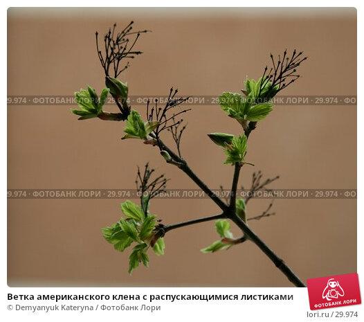 Ветка американского клена с распускающимися листиками, фото № 29974, снято 27 марта 2007 г. (c) Demyanyuk Kateryna / Фотобанк Лори
