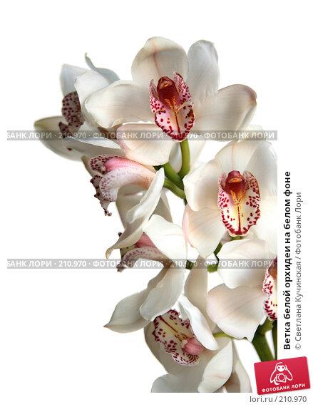Купить «Ветка белой орхидеи на белом фоне», фото № 210970, снято 13 декабря 2017 г. (c) Светлана Кучинская / Фотобанк Лори