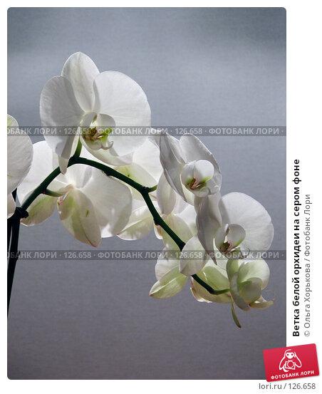 Ветка белой орхидеи на сером фоне, фото № 126658, снято 3 марта 2007 г. (c) Ольга Хорькова / Фотобанк Лори