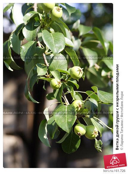 Ветка дикой груши с незрелыми плодами, фото № 61726, снято 1 июля 2007 г. (c) Ларина Татьяна / Фотобанк Лори
