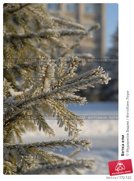 Ветка ели, фото № 172122, снято 9 января 2008 г. (c) Мударисов Вадим / Фотобанк Лори