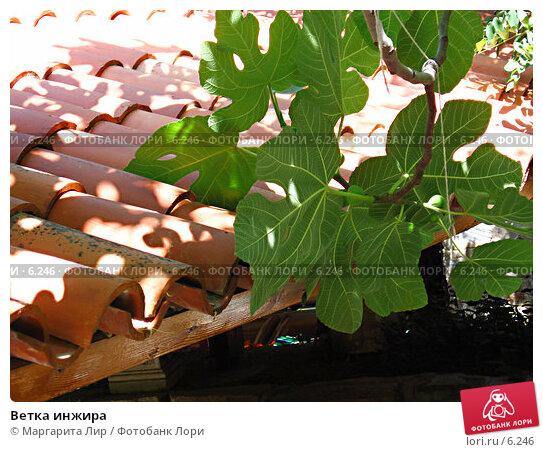 Купить «Ветка инжира», фото № 6246, снято 9 июля 2006 г. (c) Маргарита Лир / Фотобанк Лори